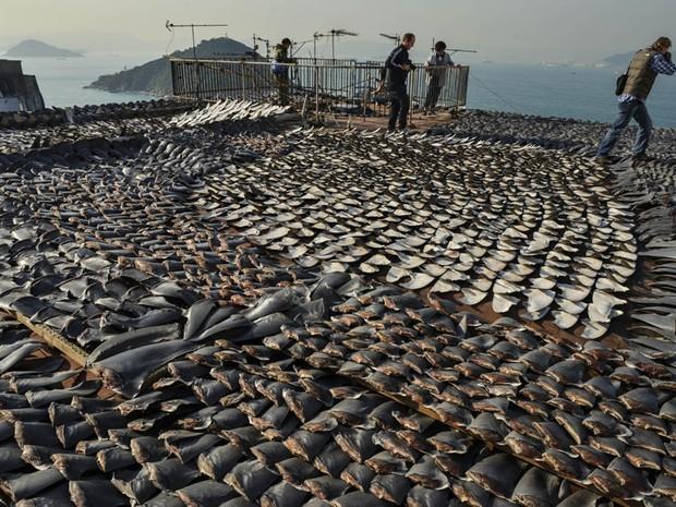 Milhares de barbatanas de tubarão colocadas para secar ao sol sobre o telhado de uma fábrica em Hong Kong. A barbatana é um alimento muito apreciado na culinária chinesa. No entanto, ambientalistas se preocupam com o que consideram um excesso nessa pesca. (Foto: Bobby Yip/Reuters)