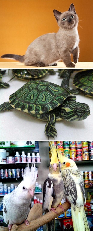De cima para baixo: gato munchkin, cujo filhote chega a custar R$ 3 mil; tartaruga-tigre-de-água, que custa R$ 170; e exemplates de calopsita, cujo preço pode chegar a R$ 350 (Foto: Divulgação/Gatil Ágata; Divulgação/Galpão Animal)
