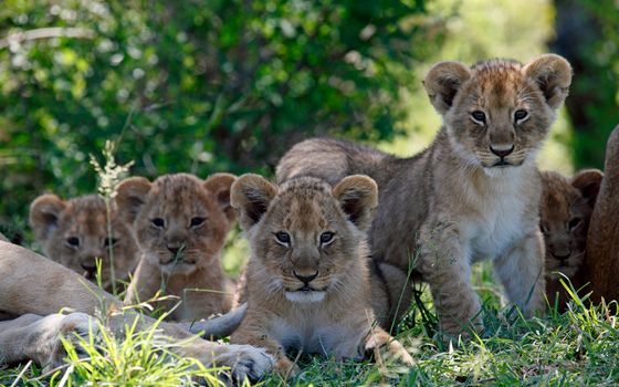 Filhotes de leões (Foto: Thinkstock/Getty Images)