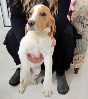 Beagle retirado de laboratório ainda está amedrontado, segundo ativista (Foto: Gabriela Gasparin/G1)