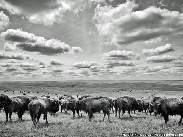 Búfalo americano, é o maior mamífero da América do Norte (Foto: Heidi e Hans-Jürgen Koch )