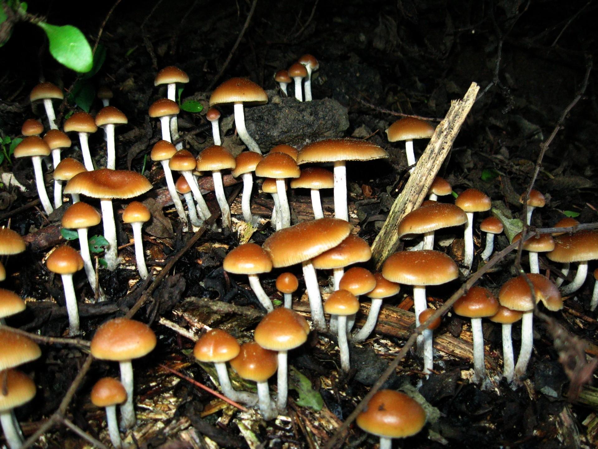 Cogumelos que contém psilocibina (Foto: Wikimedia Commons)
