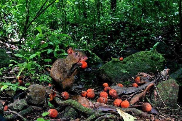 Foto mostra cutia comendo fruta da palmeira na floresta do Panamá. (Foto: Christian Ziegler/Divulgação)