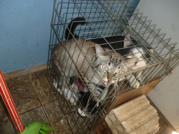 Gatos foram encontrados presos em gaiolas na casa  (Foto: Divulgação/ Polícia Ambiental)