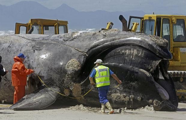Equipes trabalharam nesta segunda para remover o corpo do mamífero aquático da praia de Muizenberg (Foto: Schalk van Zuydam/AP)