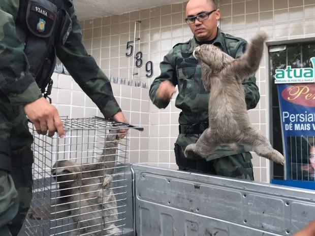 Preguiças foram resgatas de ambiente urbano (Foto: Walter Paparazzo/G1)
