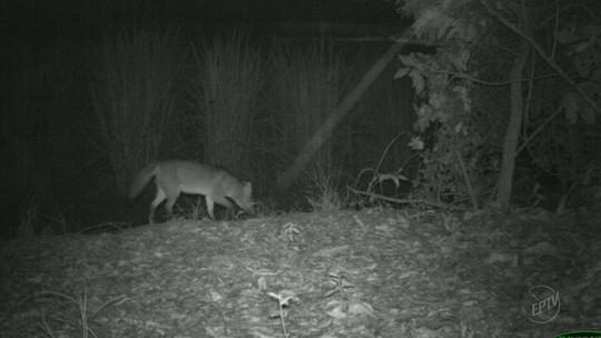 'BBB selvagem' flagra animais de 26 espécies em extinção em matas de SP