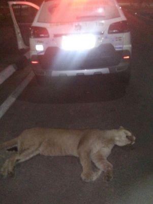 Onça Sussuarana morreu atropelada em rodovia em Águas de São Pedro  (Foto: Divulgação/ Guarda Municipal)