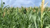 Chuva não foi suficiente no primeiro semestre e agricultores amargam prejuízos