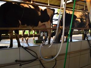 Propriedade produz cerca de 320 litros de leite por dia (Foto: Rogério Aderbal/G1)