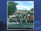Rebanho de vacas é 'flagrado' fechando rua em bairro de Varginha