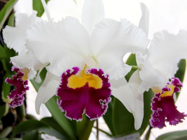 Vinhedo (SP) sedia 15ª Exposição Nacional de Orquídeas (Foto: Gabriel Bordini)