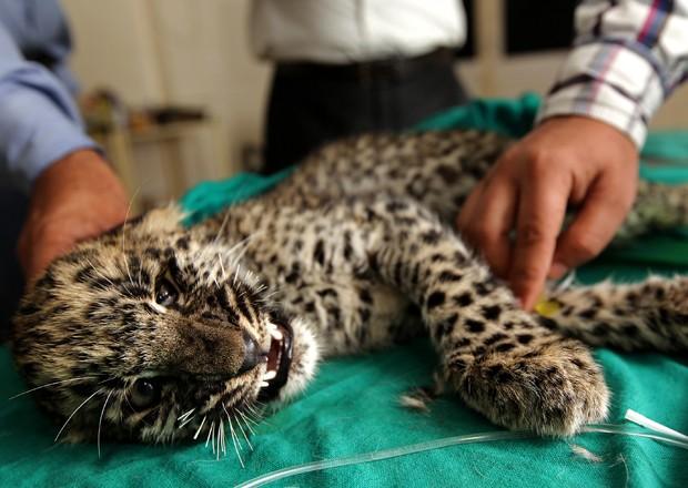 Filhote de leopardo recebe tratamento na Índia (Foto: AFP)