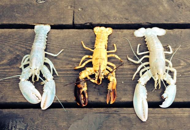 Três lagostas extremamente raras, sendo duas albinas e uma amarela, foram apanhadas com poucos dias de diferença no estado do Maine (Foto: Elizabeth Watkinson/Owls Head Lobster Company/AP)