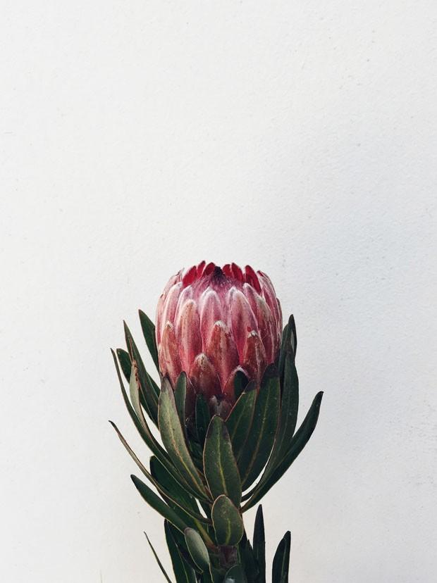 Protea  (Foto: Flo Atelier Botânico )