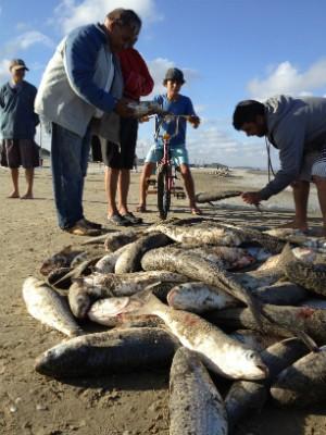 Mais de quatro toneladas foram capturadas em Balneário Rincão (Foto: Janine Limas/RBS TV)