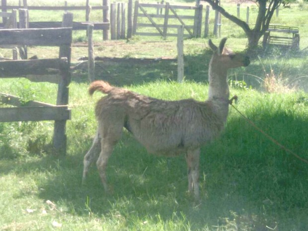 Animal adulto foi apreendido em fazenda no município de Cáceres (Foto: Renato Câmara/ Polícia Ambiental de Cáceres - MT)
