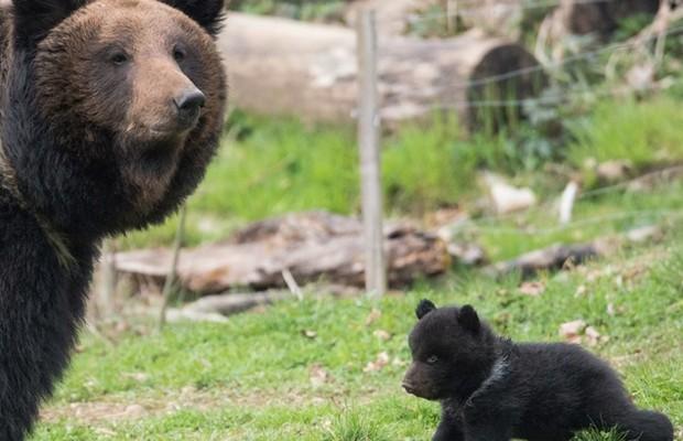 Zoológico da Suíça sacrifica filhote de urso (direita) saudável por ser rejeitado pelo pai (Foto: Reprodução/Facebook)