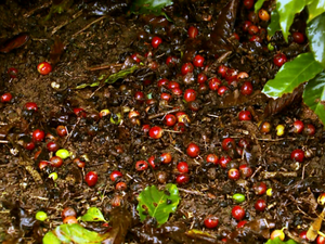 Chuva atrasa colheita de café e causa prejuízos em lavouras no Sul de MG (Foto: Reprodução EPTV)