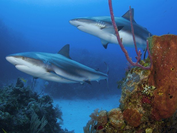 Tubarões-de-recife foram fotografados na região de Jardines de La Reina, em Cuba, segundo Krajewski. Ele informa que sua obra possui mais de 240 imagens de diferentes animais marinhos (Foto: Divulgação/João Paulo Krajewski)