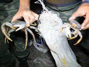 Policiais mostram a diferença de tamanho entre um caranguejo adulto e um filhote (Fot Walter Paparazzo/G1)