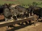 Milho pesa no orçamento dos produtores do MS apesar da oferta