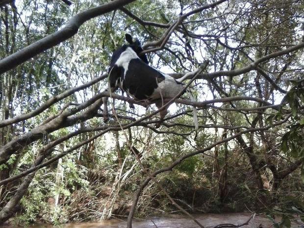 Vaca é ficou presa em árvore depois de ser arrastada por correnteza. (Foto: Clederson De Lara/  Portal Quedas)