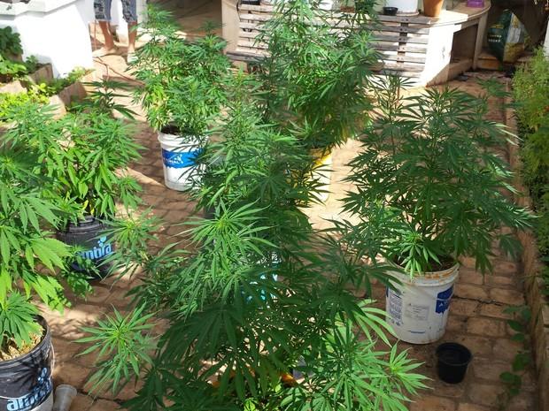 Mais de 6 quilos de maconha foram apreendidas na chácara em Franca, SP (Foto: Divulgação/Dise)