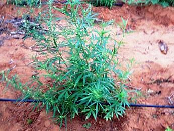 Roça da erva vinha sendo cultivada há mais de 2 meses, segundo a polícia (Foto: Divulgação / PF)