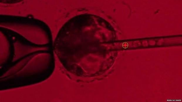 Células-tronco humanas são injetadas em embriões de porco - as células podem ser vistas no tubo à direita  (Foto: Ross/UC Davis)