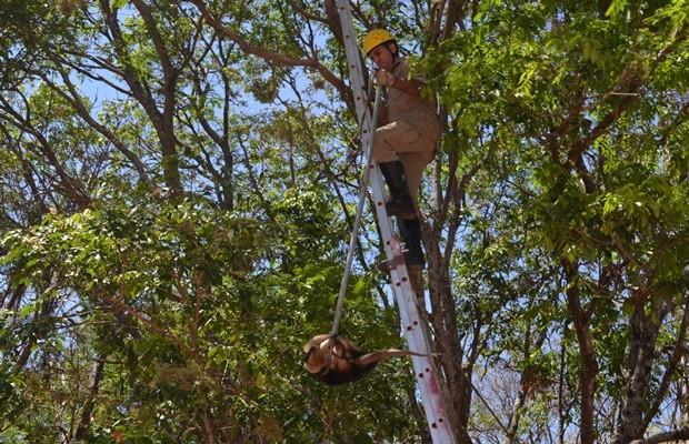 Bombeiro precisou subir no alto de árvore para resgatar o bicho (Foto: Bill Guerra/AgMais)