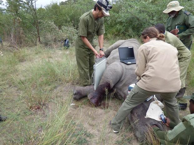 Ntombi recebe atendimento médico no Parque Nacional Matopos após ser atingida por disparos de caçadores ilegais (Foto: Lisa Marabini via AP)