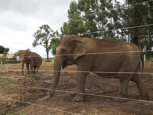 Maia e Guida devem chegar ao santuário em meados de setembro (Foto: Divulgação/Santuário dos Elefantes Brasil)