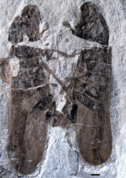 Cientistas encontram fóssil de insetos se reproduzindo (Foto: Li S/Shih C/Wang C/Pang H/AFP)
