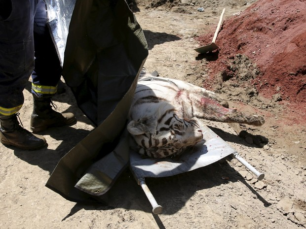 Um tigre branco, que havia escapado de sua jaula durante enchentes no último domingo (14), é visto em uma maca após ser morto pela polícia em Tbilisi, na Geórgia (Foto: Reuters)