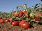 Em GO, alta produção de tomate  movimenta o campo e as indústrias