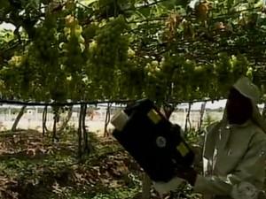 A aplicação de Ozônio está sendo testada em plantações de uva (Foto: Reprodução/ TV Grande Rio)