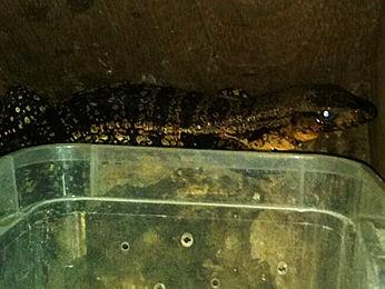 Iguana era transportada dentro de caixa há três dias (Foto: Polícia Ambiental/ Várzea Grande-MT)