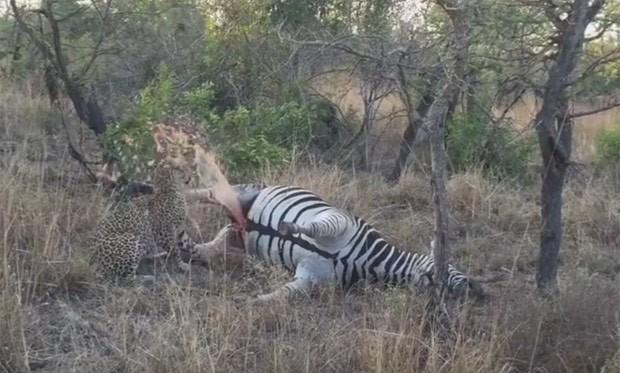 Cena ocorreu no Parque Nacional Kruger, na África do Sul (Foto: Reprodução/YouTube/Kruger Sightings)