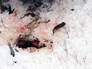 Número de lobos no Parque nacional Ilha Royales é o menor desde 1950 (Foto: AP Photo/George Desort, File)
