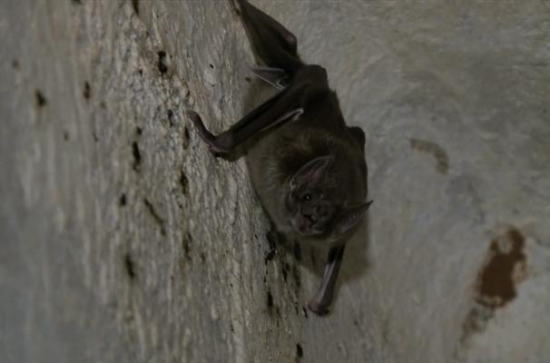 Morcego (Foto: Reprodução/RBS TV)