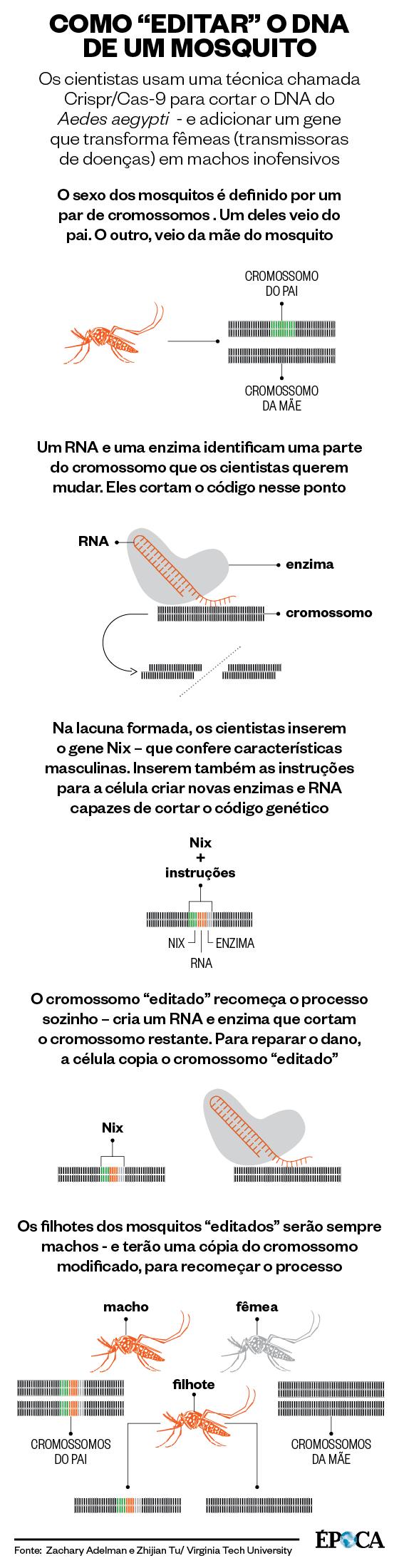 Como editar o DNA de um mosquito (Foto: Giovana Tarakdjian/ÉPOCA)
