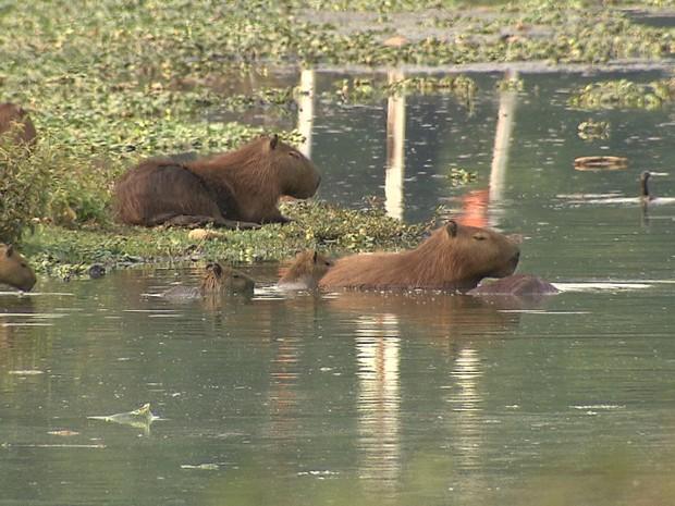 Capivaras são um dos animais hospedeiros do carrapato-estrela e vivem no entorno da Pampulha. (Foto: Reprodução/TV Globo)