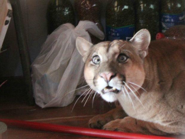 Onça é encontrada em despensa e é capturada em MS (Foto: Divulgação/Corpo de Bombeiros)