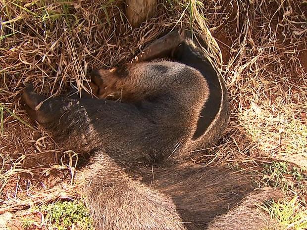 Tamanduá foi encontrado ferido às margens de vicinal em Brodowski (Foto: Chico Escolano/EPTV)