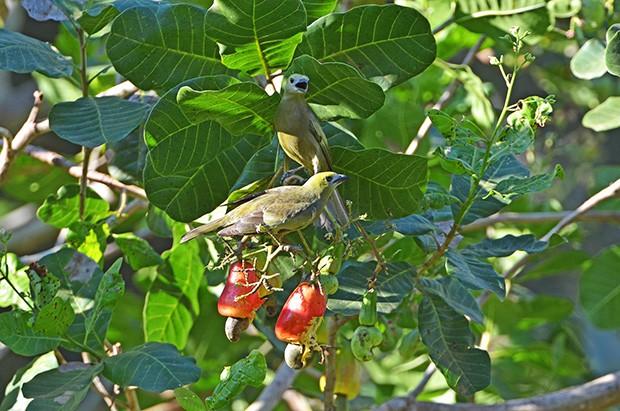 sanhaçu-do-coqueiro (Tangara palmarum)  (Foto: Rudimar Narciso Cipriani)