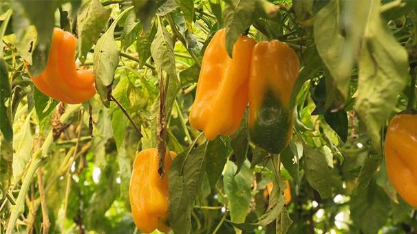 Pimentão pode durar mais com uso de estufas (Foto: Reprodução/TV Fronteira)