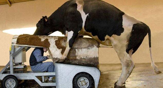 Ele tem que se 'vestir' de vaca para atrair um boi