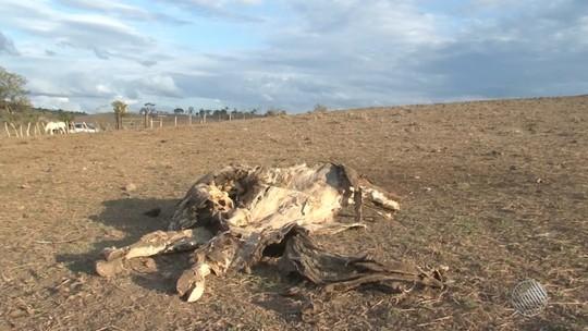 Estiagem causa prejuízos na Bahia: 'Morreram 60 vacas', diz produtor