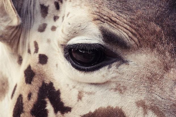 O olhar de uma girafa que vive no zoológico de Barcelona, na Espanha (Foto: Oscar Ciutat/Creative Commons)